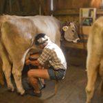 Melken der Kuh